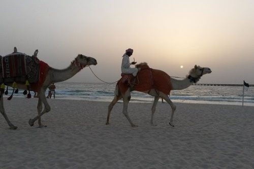 Dubai Marina Camel on Beach