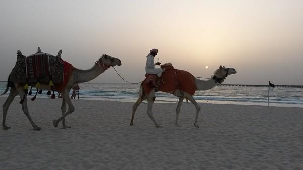 Dubai Marina Camel on Beach