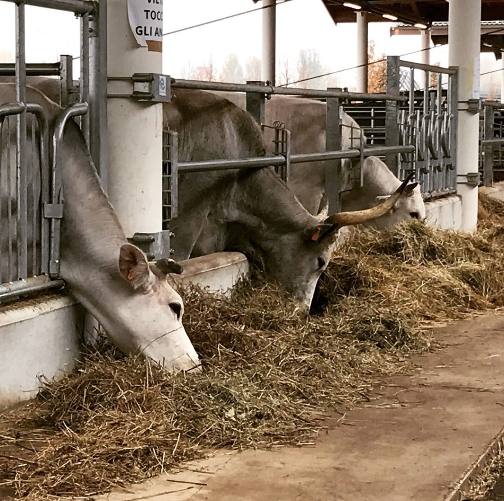 Fattoria delle mucche a FICO